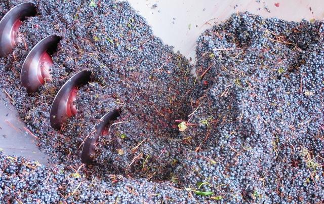 Uvas sendo prensadas para o começo da fermentação