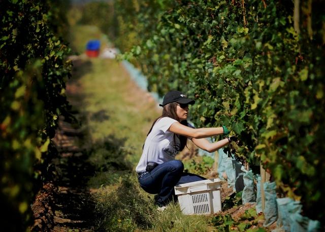 Colheita em The Vines