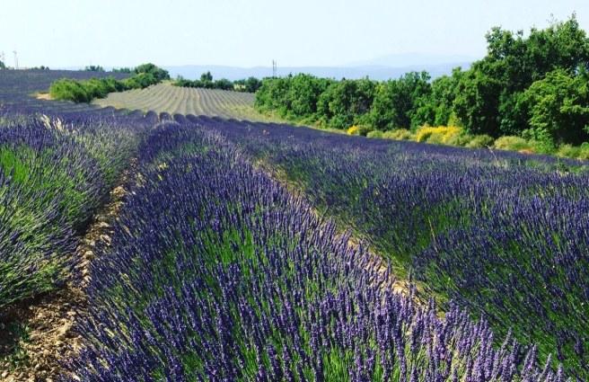 Provence - campos de lavanda